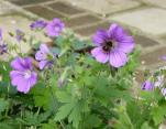 Millfield - Bee and Geranium